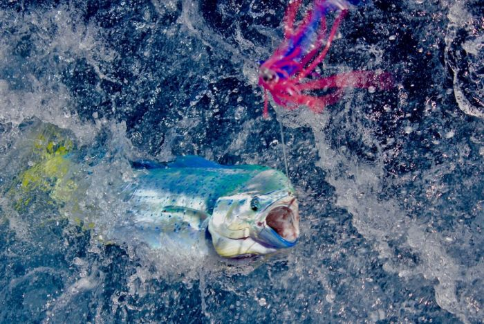 Big Game Fishing Portugal dolphinfish
