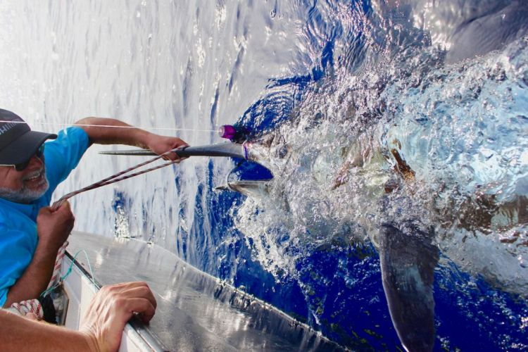 Blue marlin report - 800 lbs 360 kg