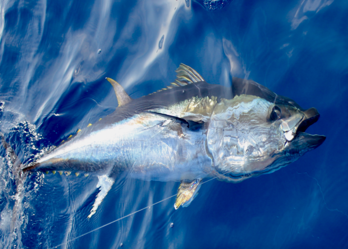 SPECIAL BLUEFIN TUNA IN JULY 2020