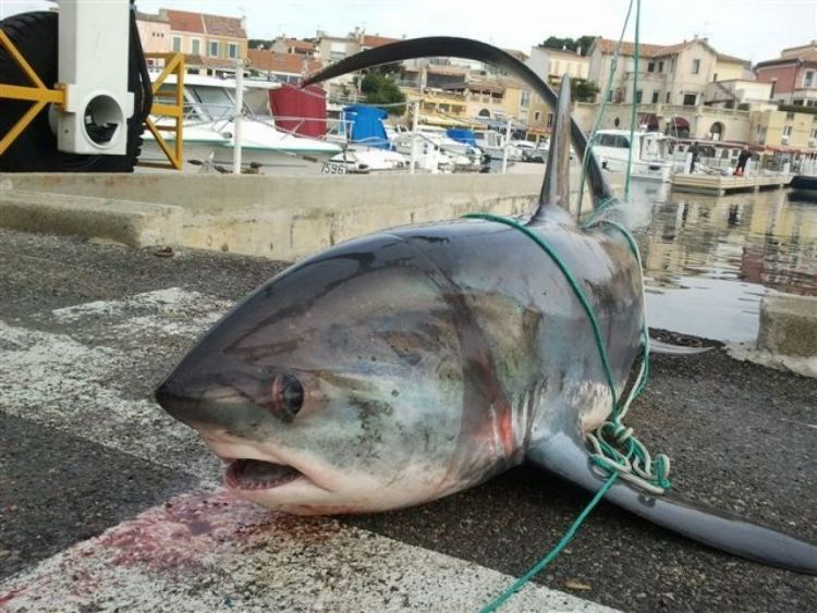 Fishing Thresher skark Martigues South of France XIPHIAS BGF Team