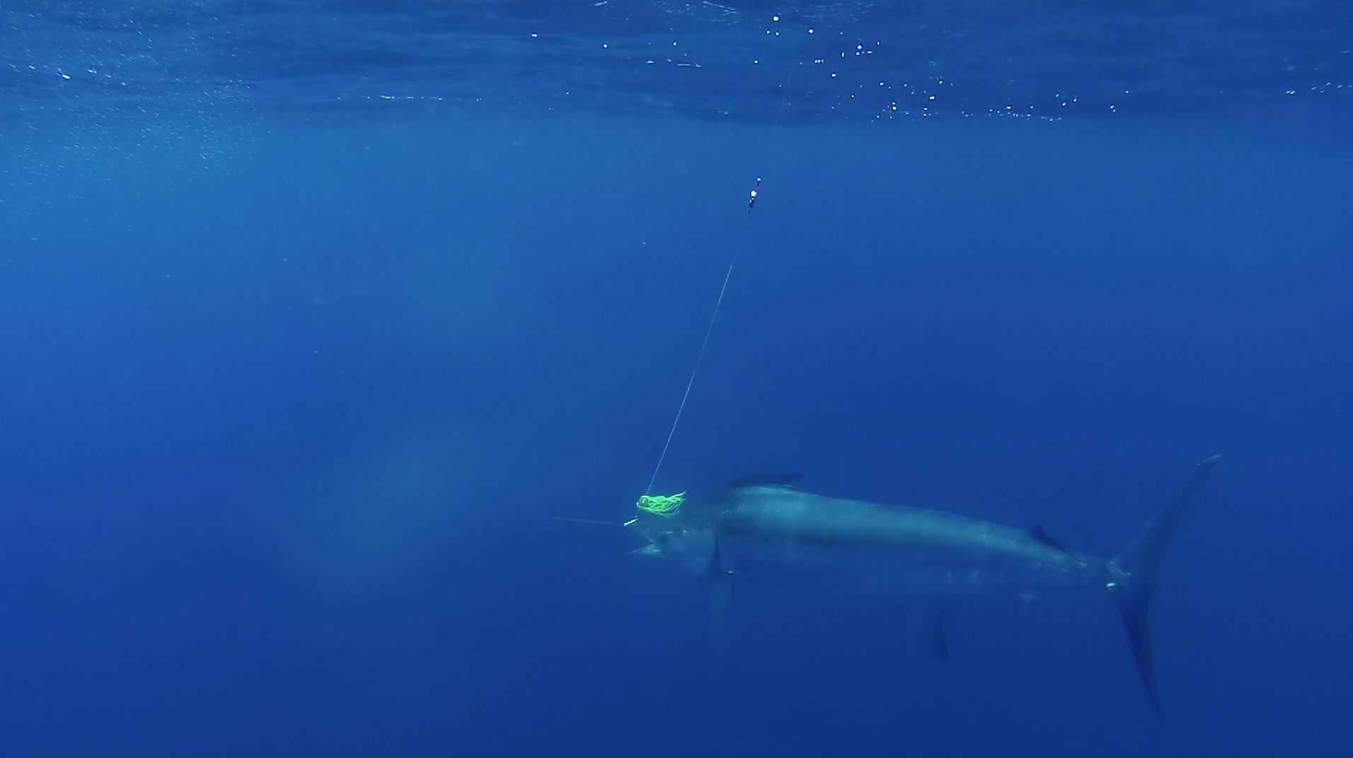 blue-marlin-fishing-algarve-portugal