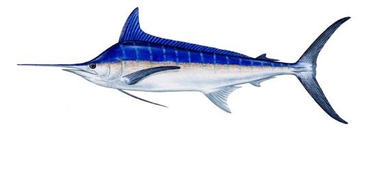 blue marlin fishing portugal