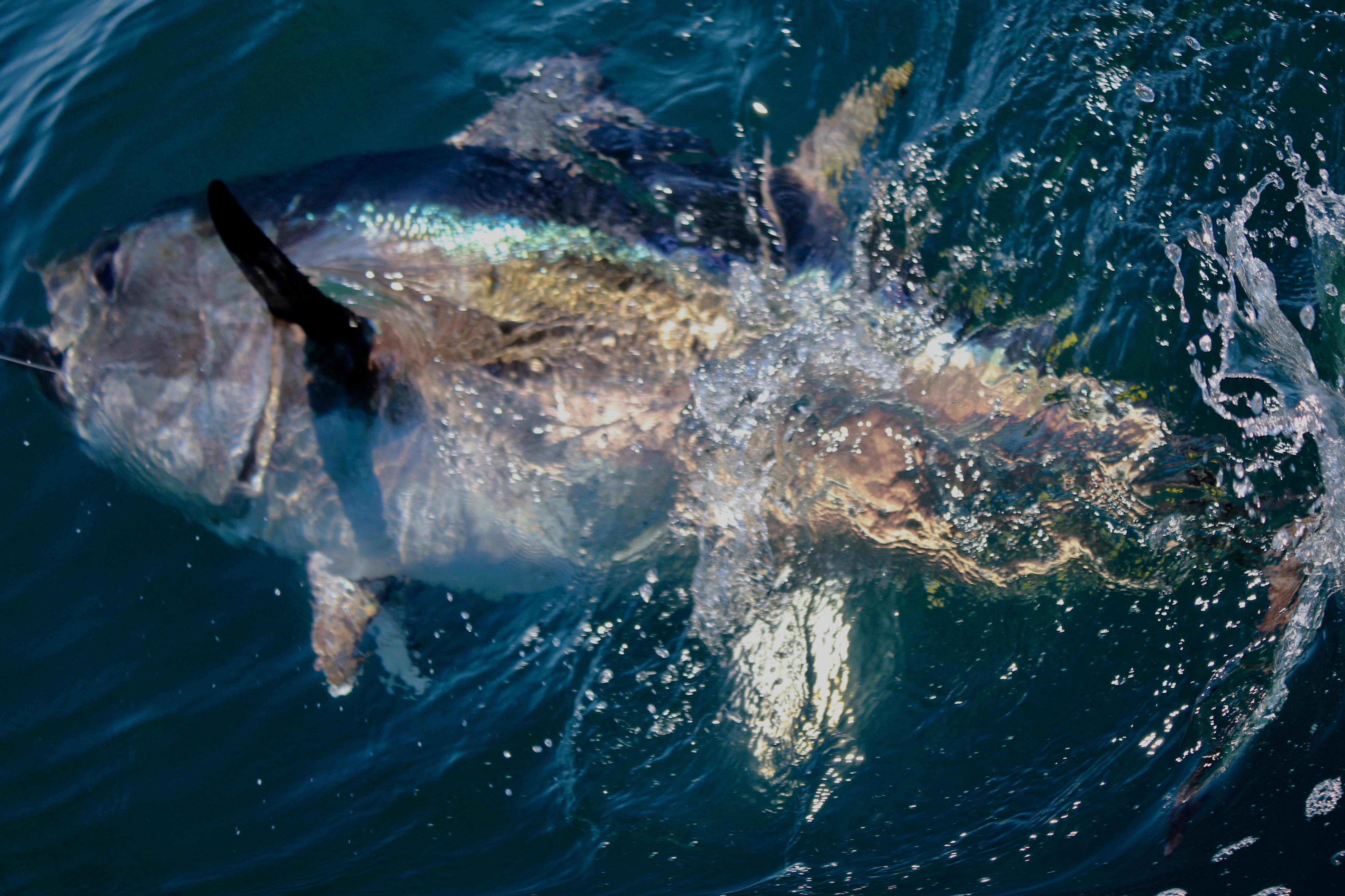 bluefin tuna sport fishing