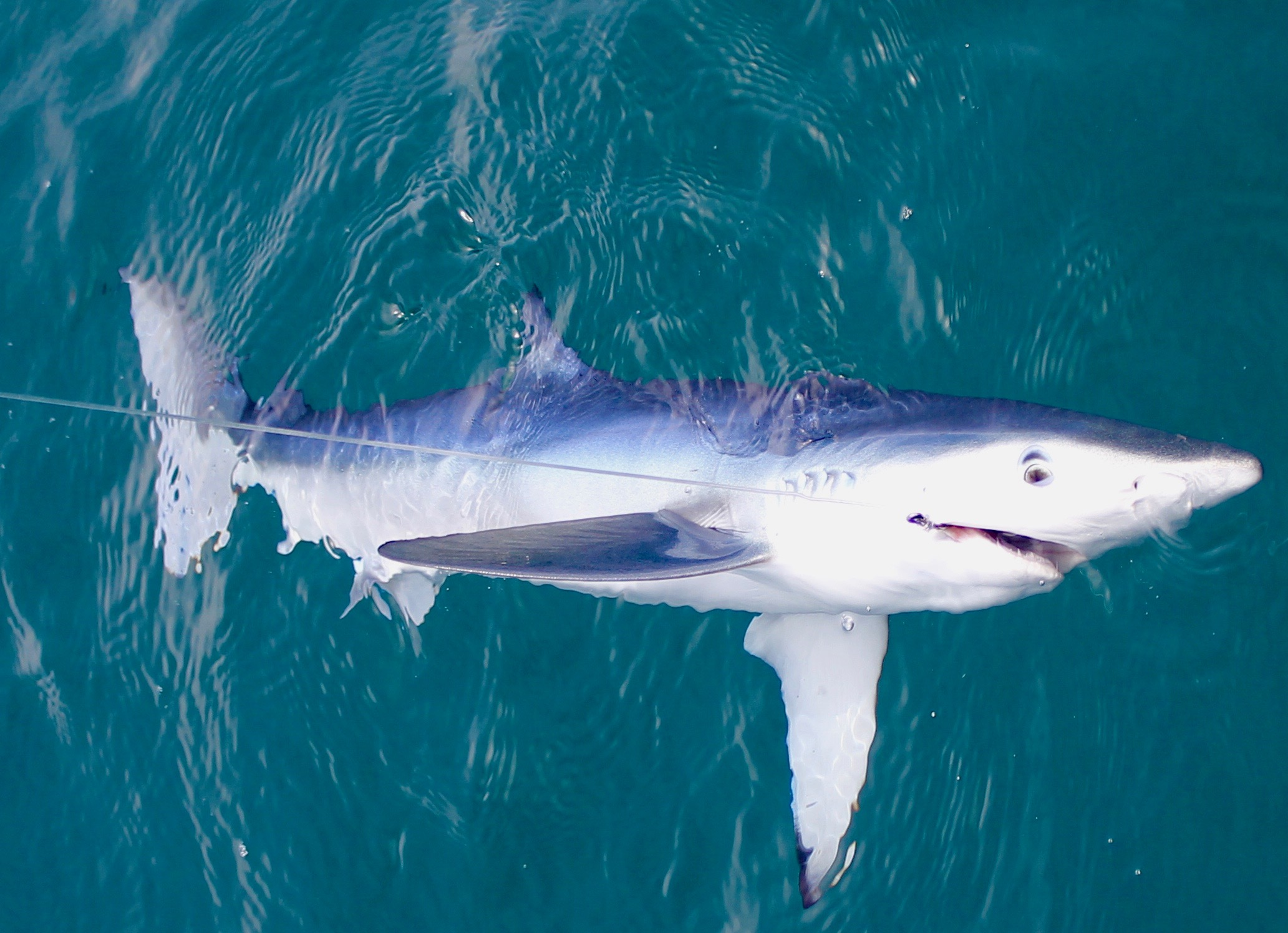shark fishing in algarve