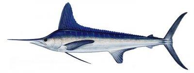white-marlin-fishing-algarve